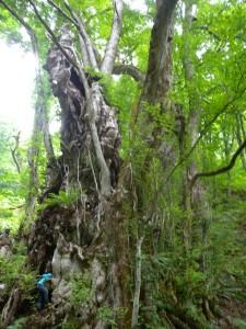 いま、最上の巨木が熱い!!的な・・・笑